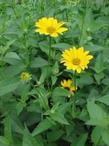 1Oxeye_Sunflower.png
