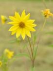 TallSunflower.png