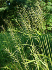 Bottle Brush Grass