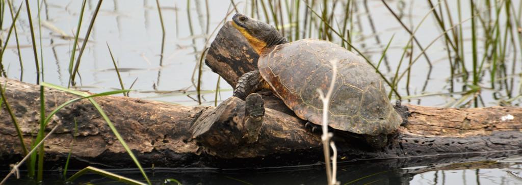 Blanding's_Turtle_-_Eva_Visscher_-_CopyEnhanced.jpeg
