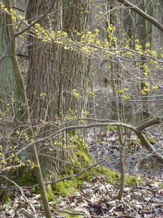 bebensee spicebush shrub