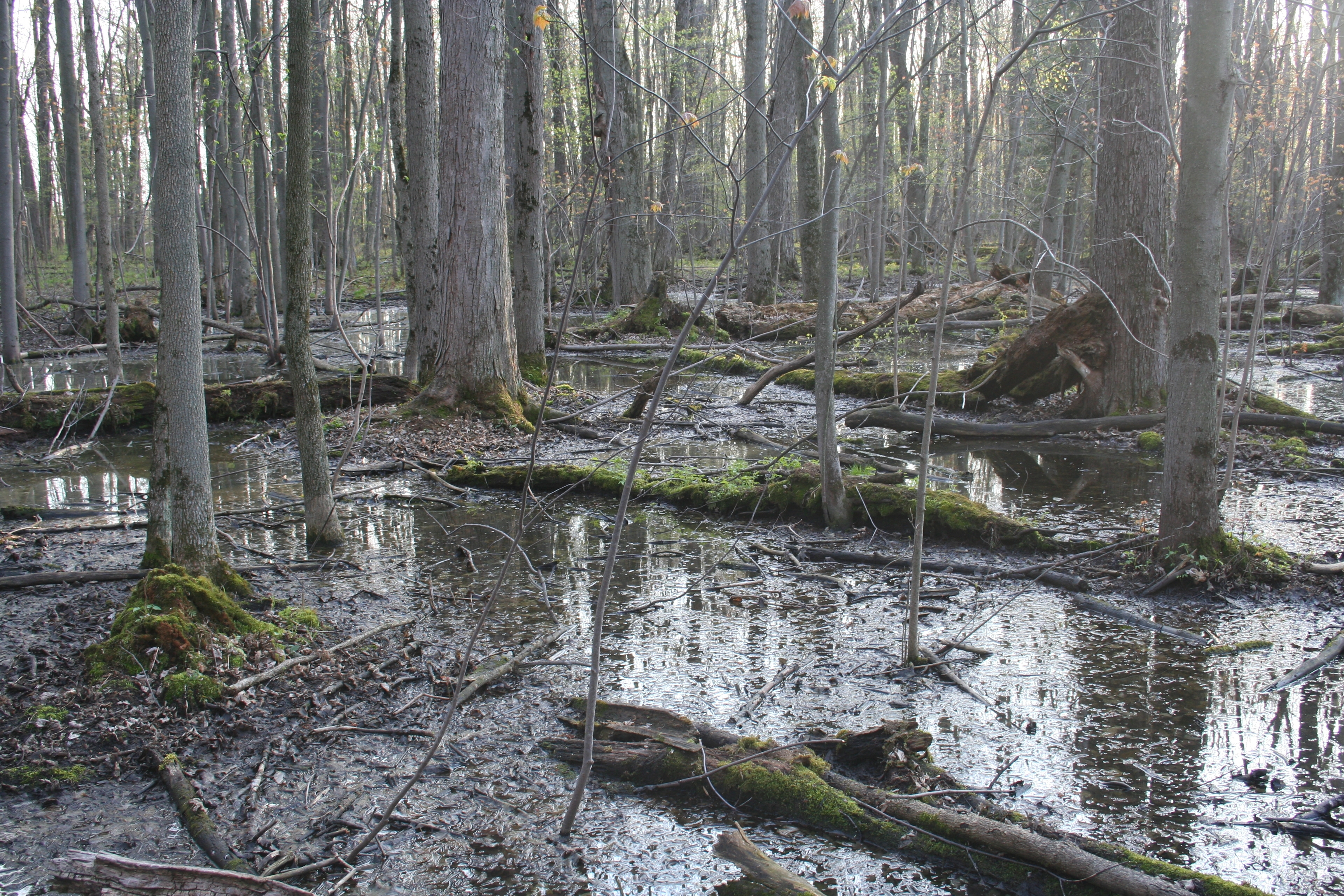 Black_Creek_Swamp.JPG