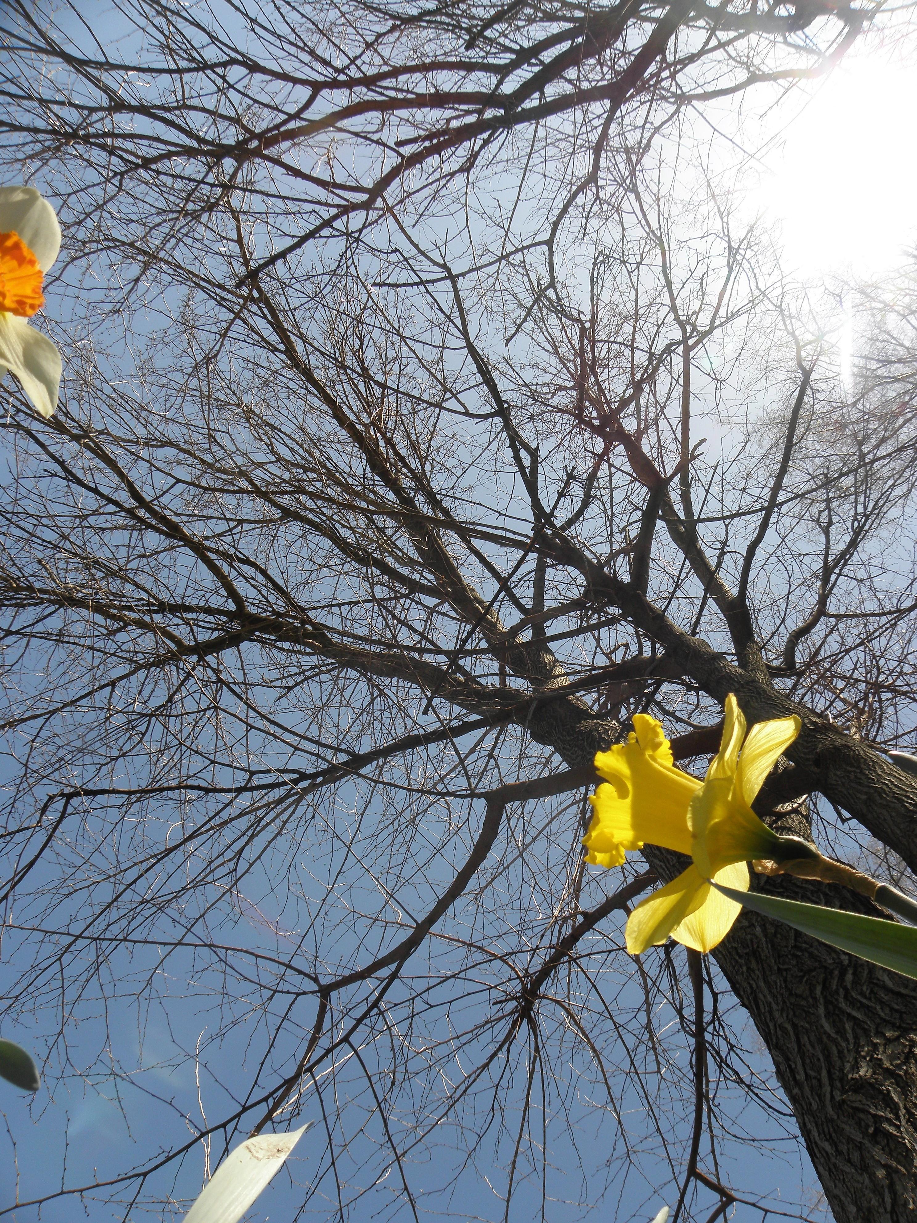 Daffodil & tree, Cleveland, 4/20/20