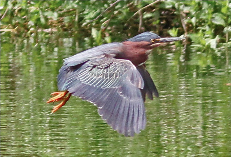 Green_Heron_Hastings_Sanctuary_credit_Jock_McCracken.jpeg