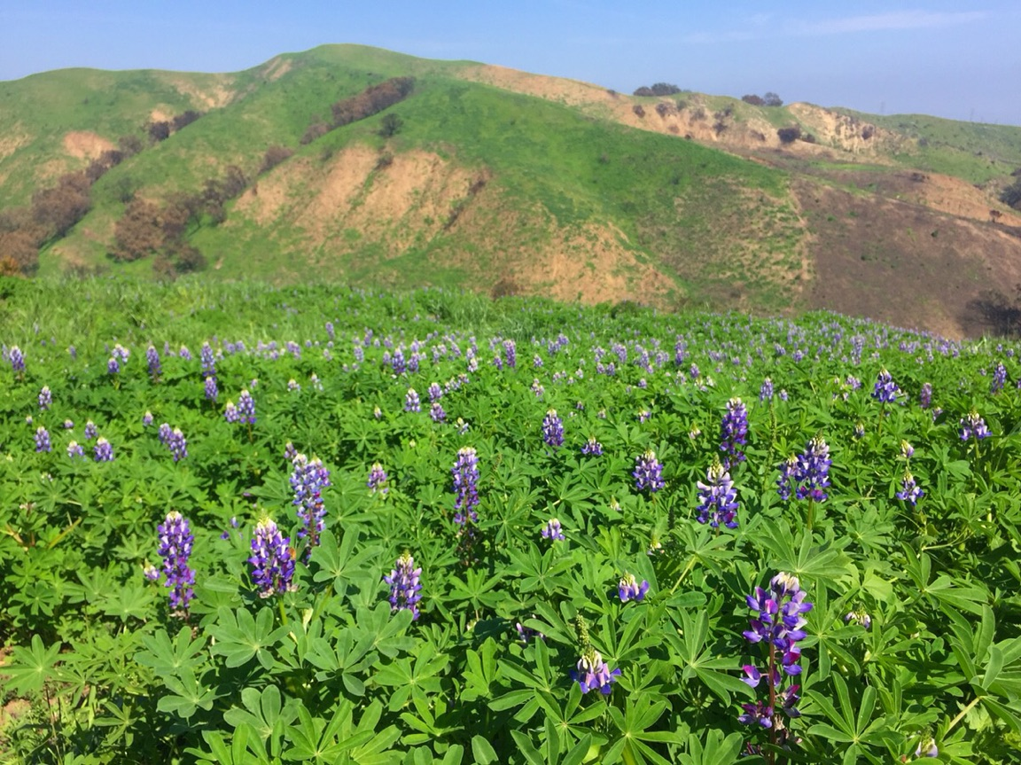 Lupine_in_bloom_4.4.18.jpg