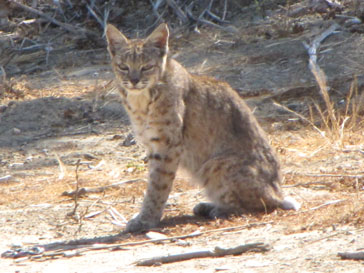 bobcat_resized.jpg