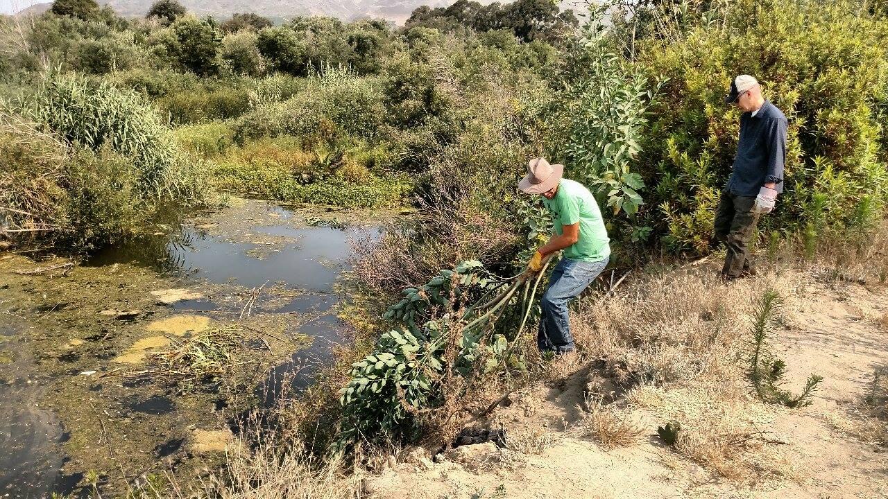 Invasive Plant Removal Ventura Land Trust