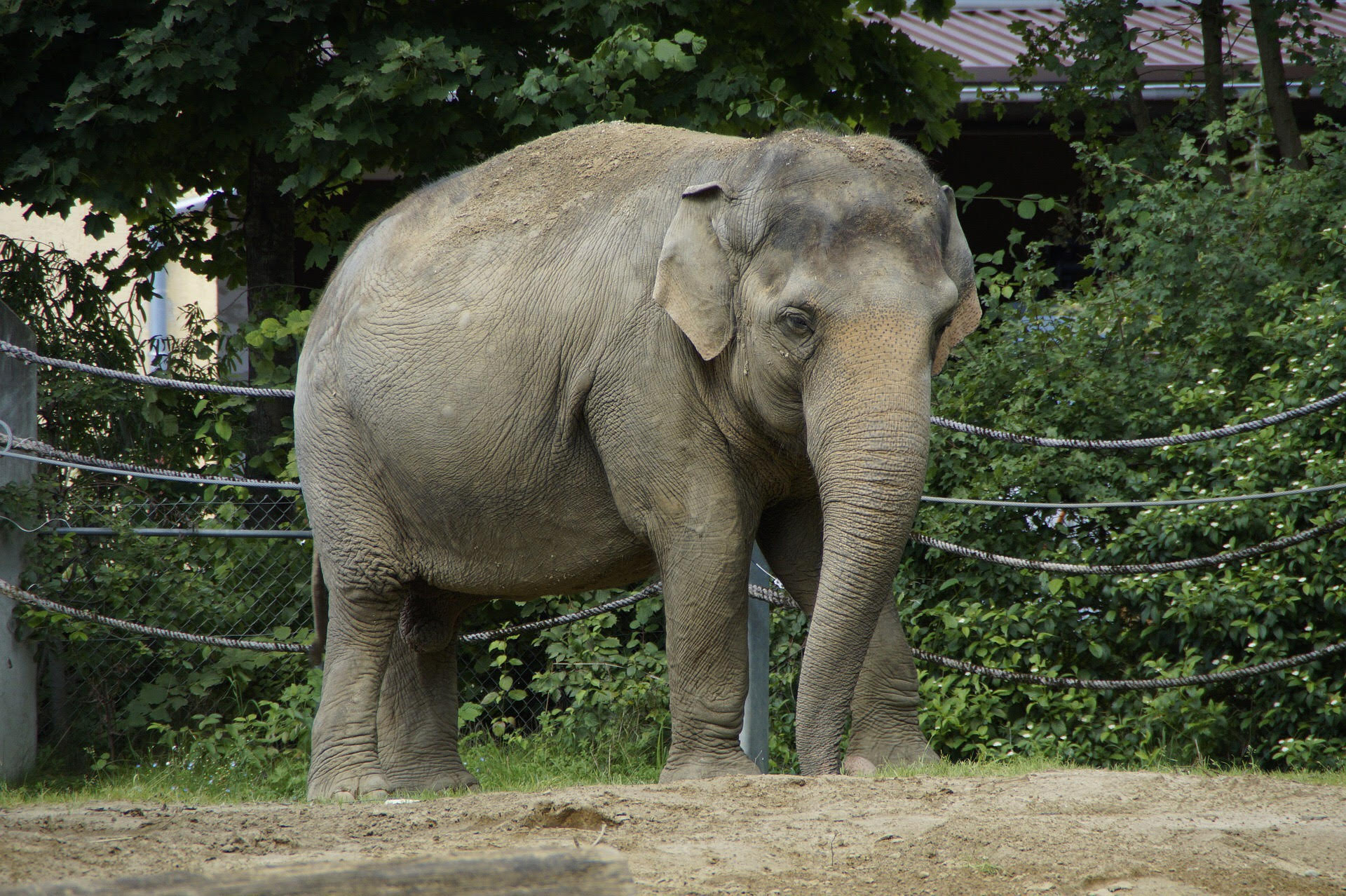A Lonely and Confined Female Asian Elephants