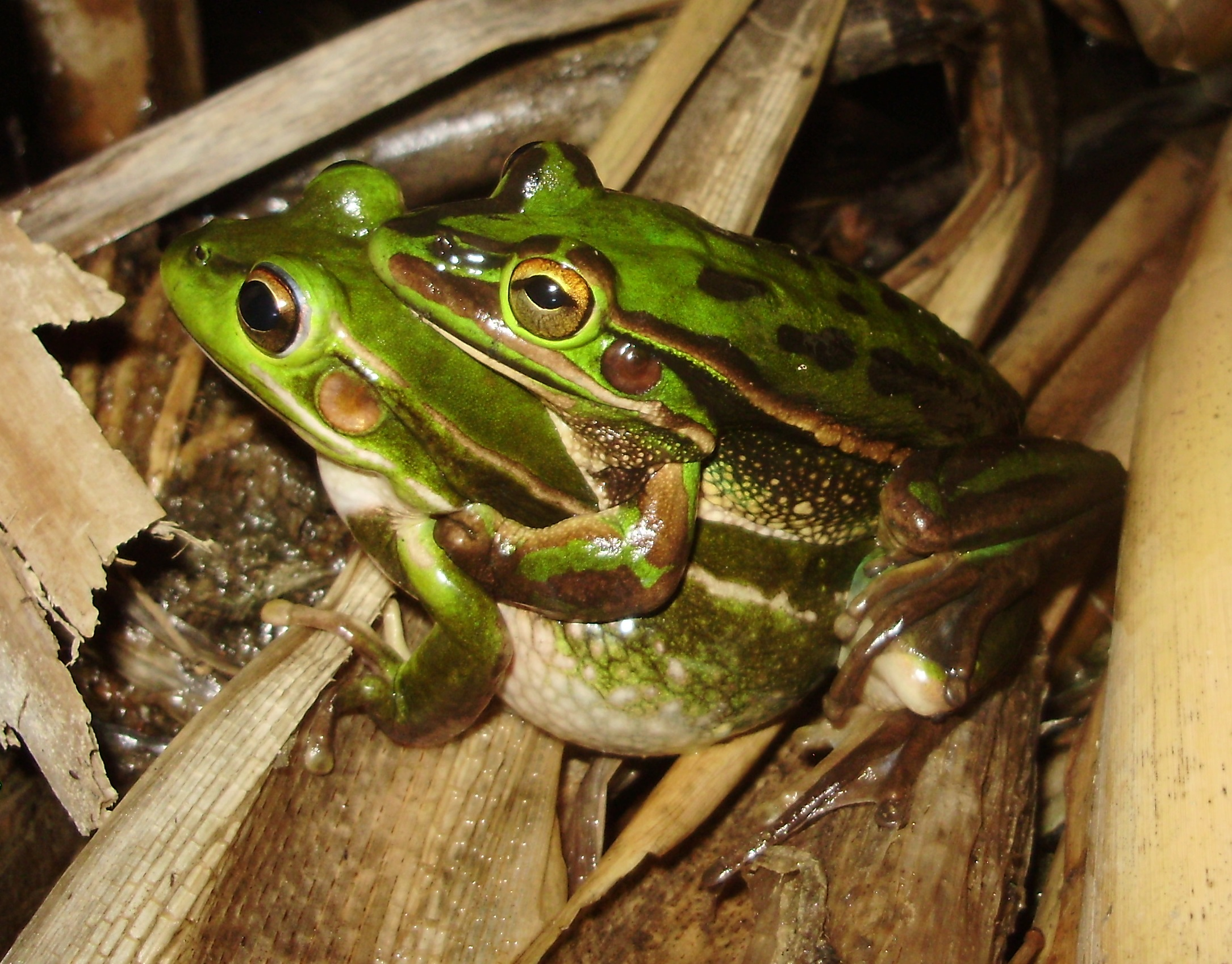 Green and Golden Bell Frogs at Arncliffe