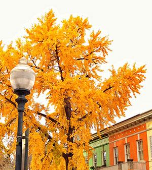 Ward 1 Ginko Tree