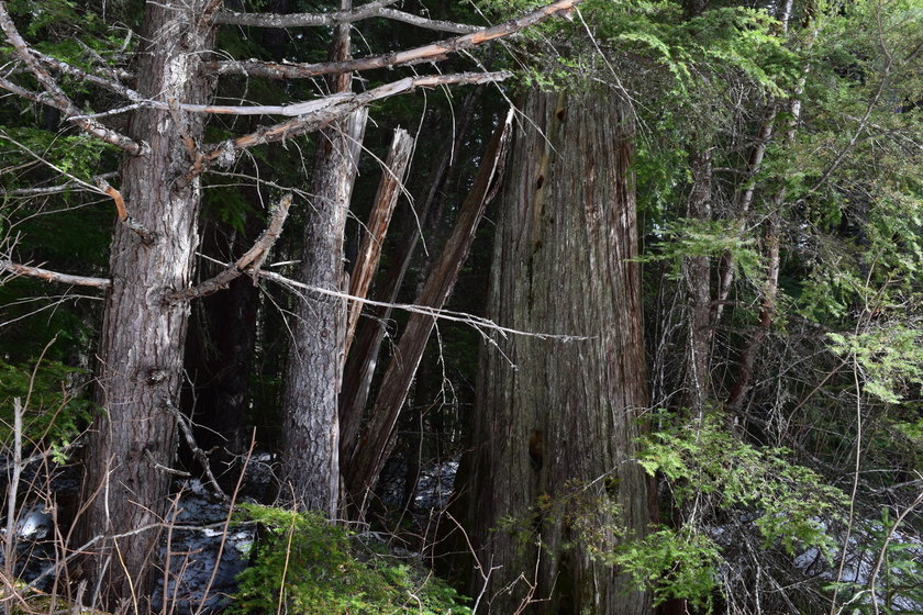 Old Growth/Habitat Trees