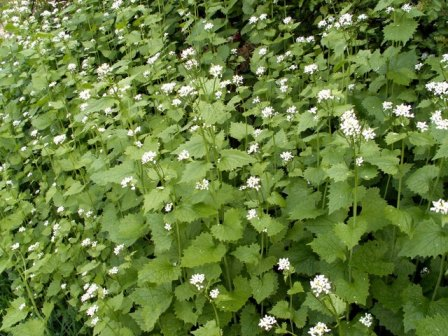 Garlic Mustard - John Fielding, Wikimedia Commons