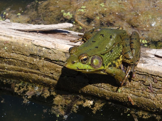 Green Frog - Sky Earley 2010