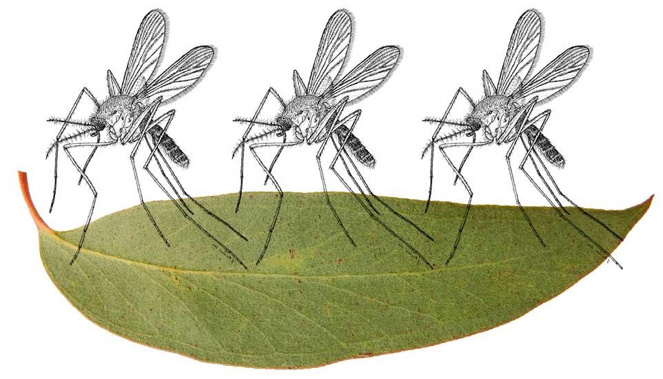 mosquito_eucalyptus.jpg