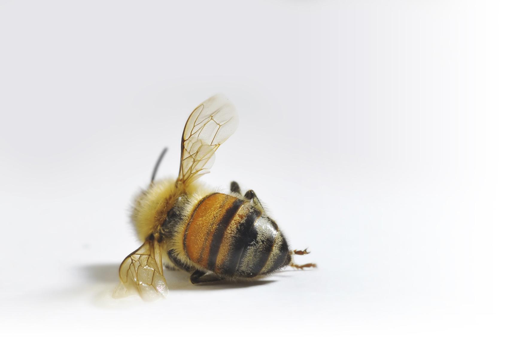 dead-bee-fade.jpg
