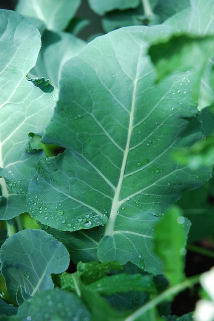 broccoli_leaves.jpg