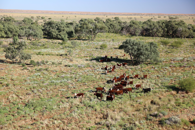 088A7545_aerial_cattle.jpg
