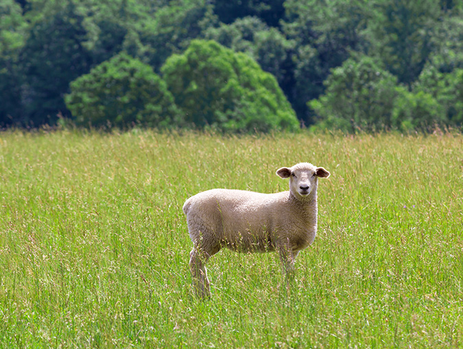5a.Lamb_in_Pasture_AdobeStock_80551218_clr.jpg