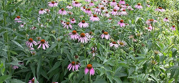 echinacea-purpurea-2.jpeg