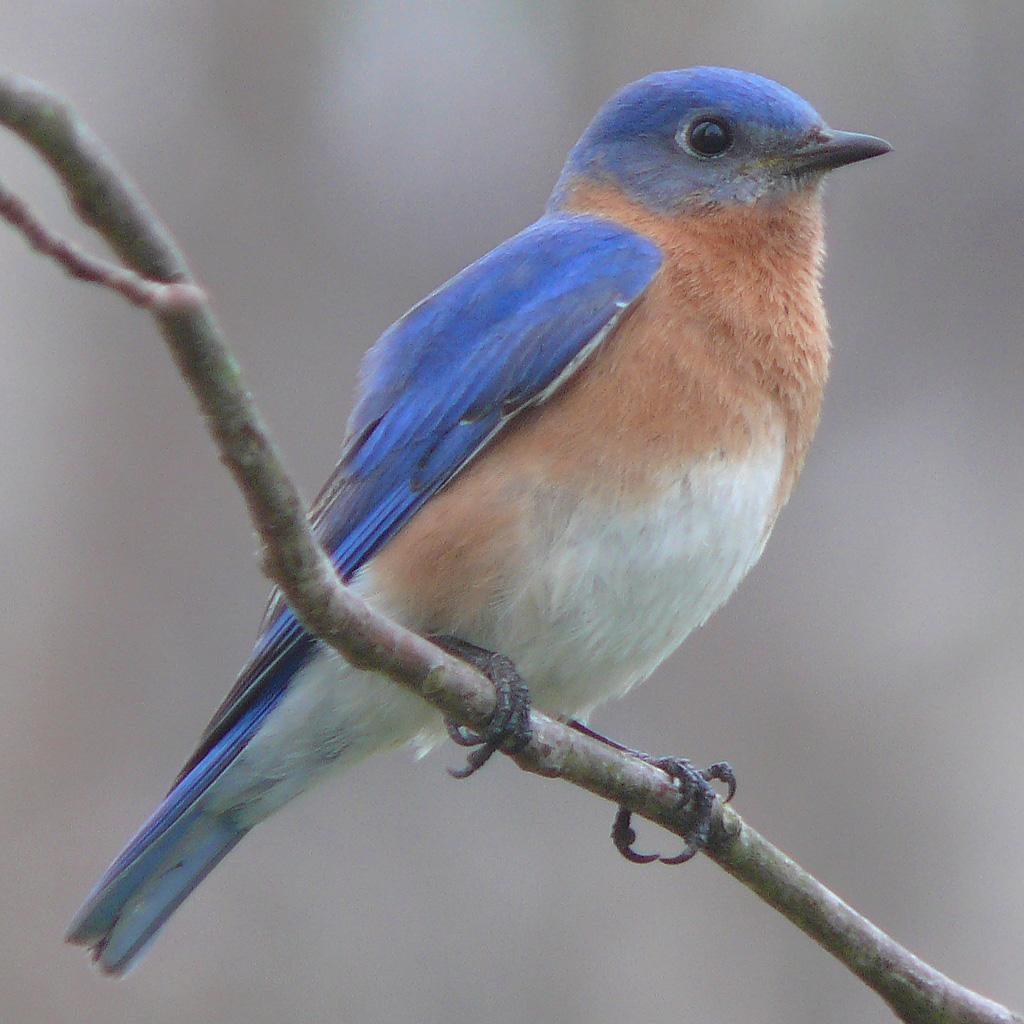 Eastern_Bluebird-27527-2.jpg