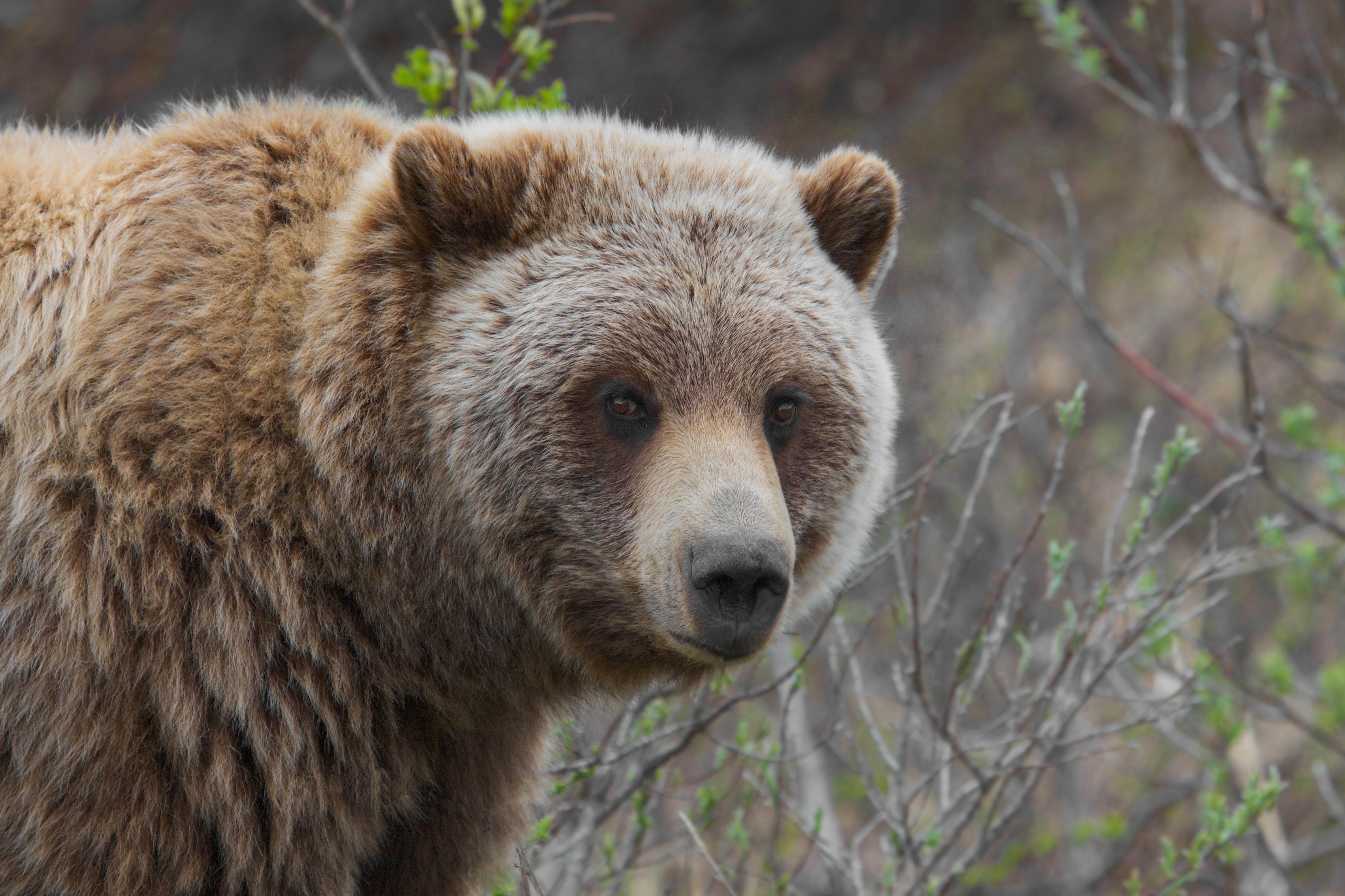 Grizzly_Bear_(Ursus_arctos_ssp.).jpg