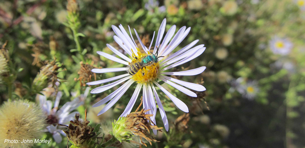 Bee-Protecting_Biodiversity.John.Morley3.jpg