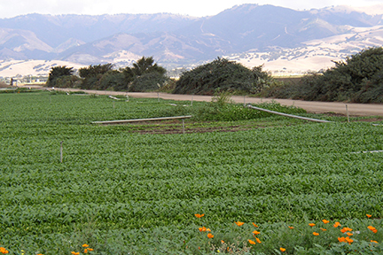 Hedgerow_Spinach.jpg
