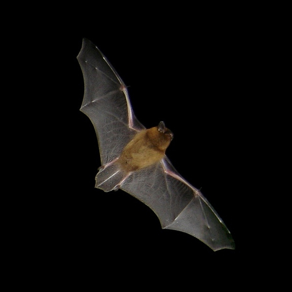 Bat.Pipistrellus_flight2.jpg