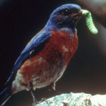 Bluebird_with_caterpillar.jpg