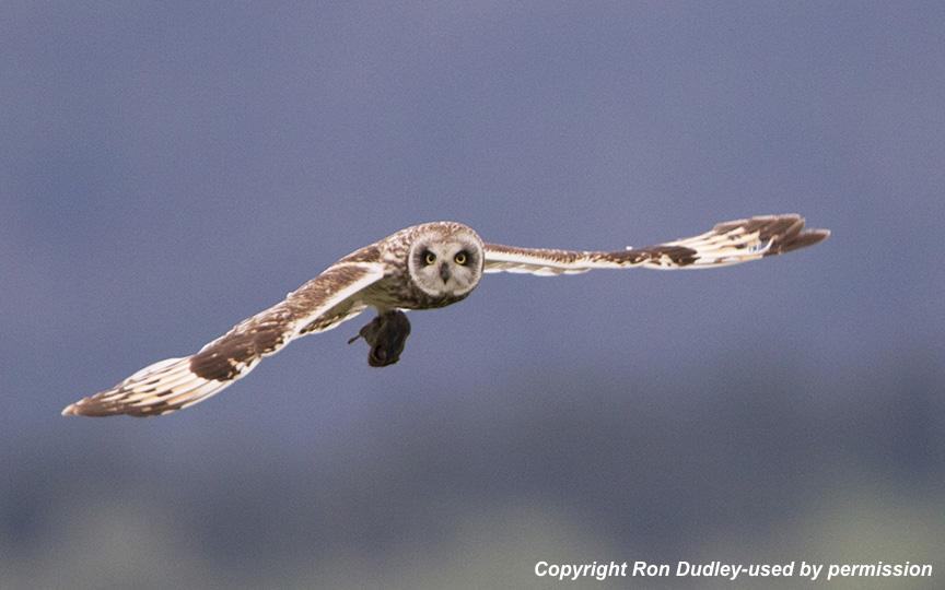 Short-eared_owl.Ron.Dudley1.jpg