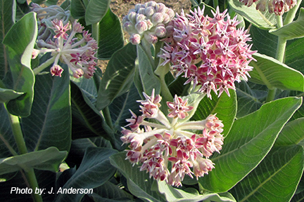 Asclepias_speciosa.J.AndersonCredit.png