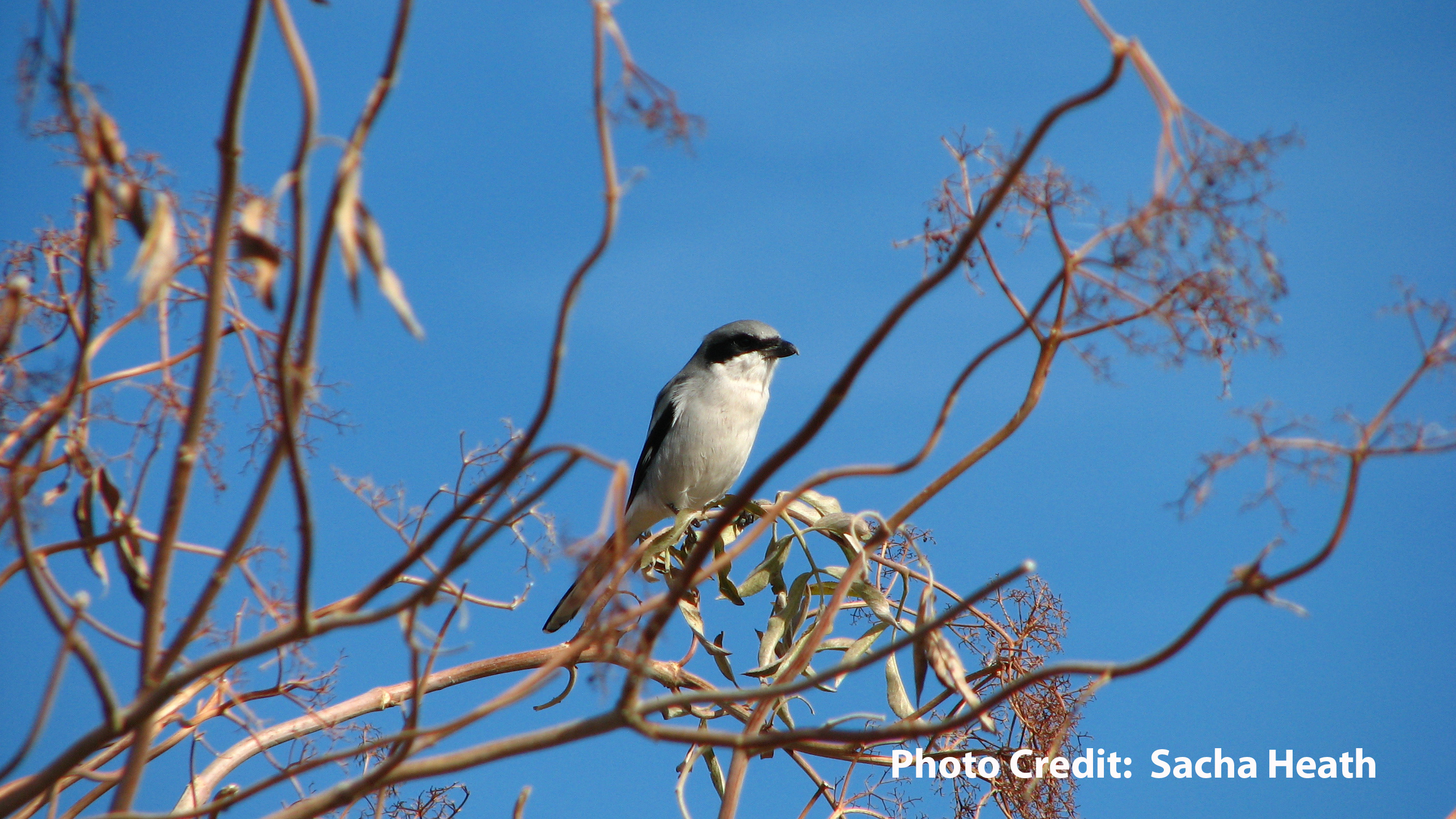 Loggerhead_Shrike_(Lanius_ludovicianus)__Rominger__Yolo_County__California__USA__13_November_2012__Sacha_Heath_copy.jpg