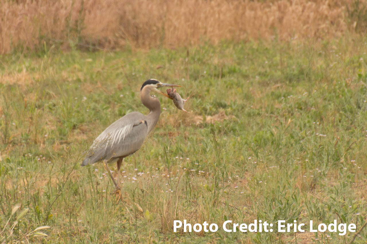 Great_Blue_Heron_with_gopher_Eric_Lodge_copy.jpg