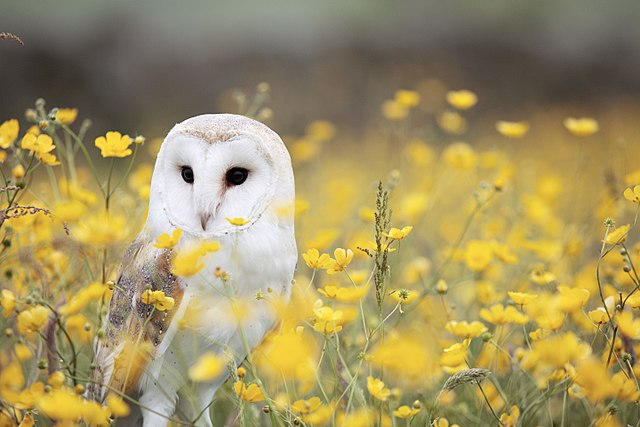 640px-Barn_Owl__Manchester_area__UK__by_Andy_Chilton_2016-07-06_(Unsplash).jpg