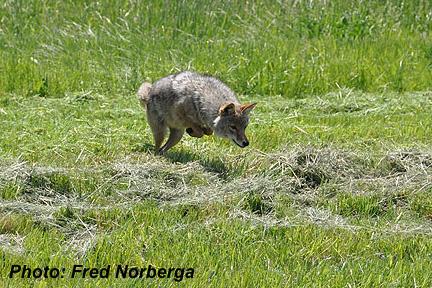 Coyote_hunting_Fred_Norberga.jpg