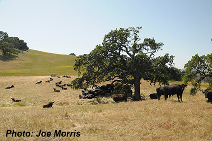 Cattle_Joe_Morris.jpg