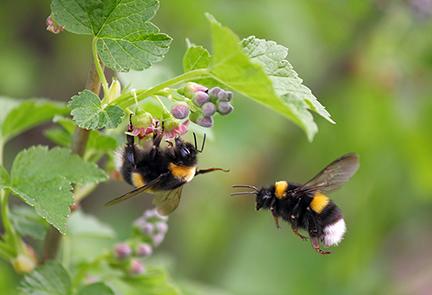 Bumblebee_AdobeStock_52672592_copy.jpg