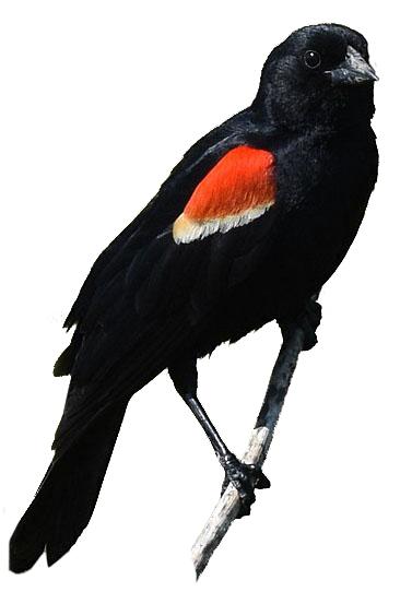 Red-winged_Blackbird_wikipedia.A.Reago.C.McClarren_(1).jpg