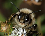 Bumble_bee_SusanEllis.bugwood.jpg