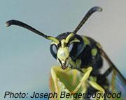 Mason_wasp_Joseph_Berger.bugwood1.jpg