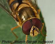 Syrphid_fly_Joesph_Berger.bugwood.jpg