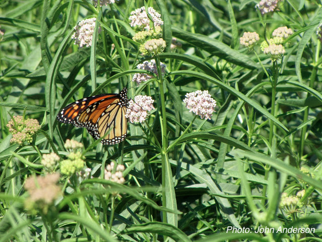 Monarch_on_Milkweed.John_Anderson4.jpg
