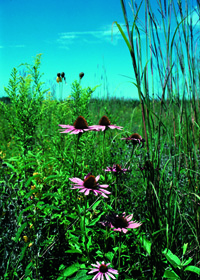 8.5.14News_ConeFlower_NRCSIA99291_very_small.jpg