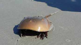 The horseshoe crab is one of many marine animals being studied by scientists with a goal of improving human health.  © wildbook.files.wordpress.com