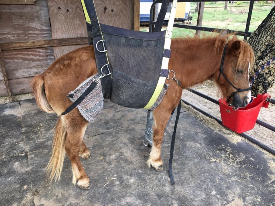 Hop Scotch - a mini pony we rescued with a broken leg.