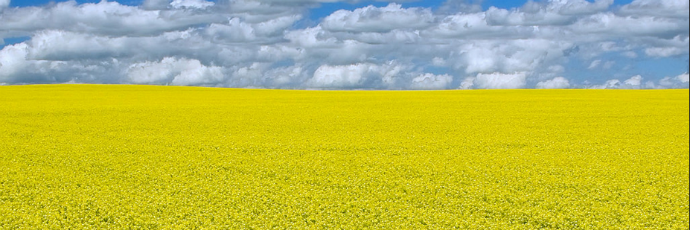 Canola_field_690_resized.png