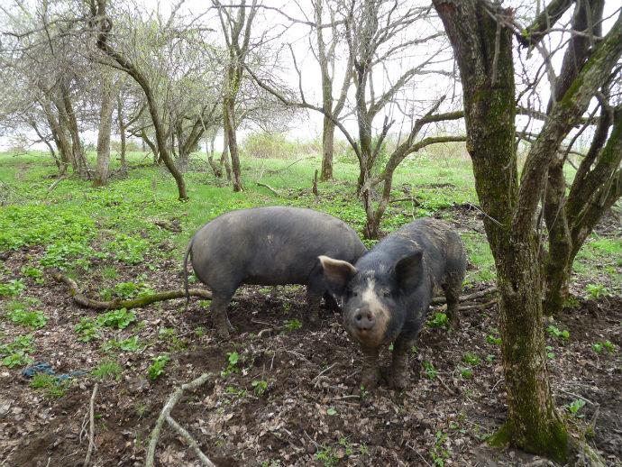 Pigs_on_Pasture_690.jpg