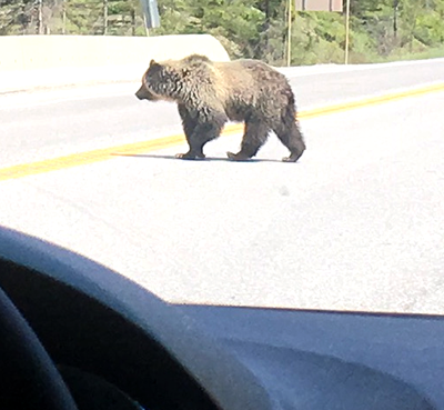Grizzly on Hwy 93