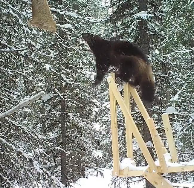 Wolverine heading for beaver