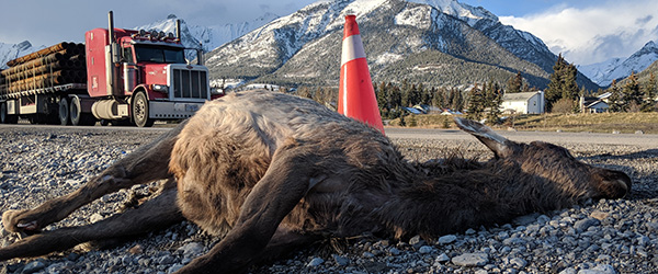 An elk struck by a vehicle lies on Highway 1 near canmore